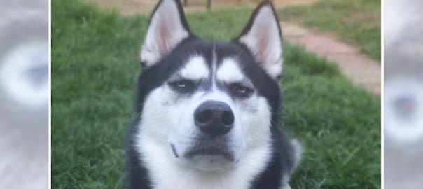 この表情は怖すぎる!ボールを投げるフリをしたら、ハスキーに脅された(画像8枚)