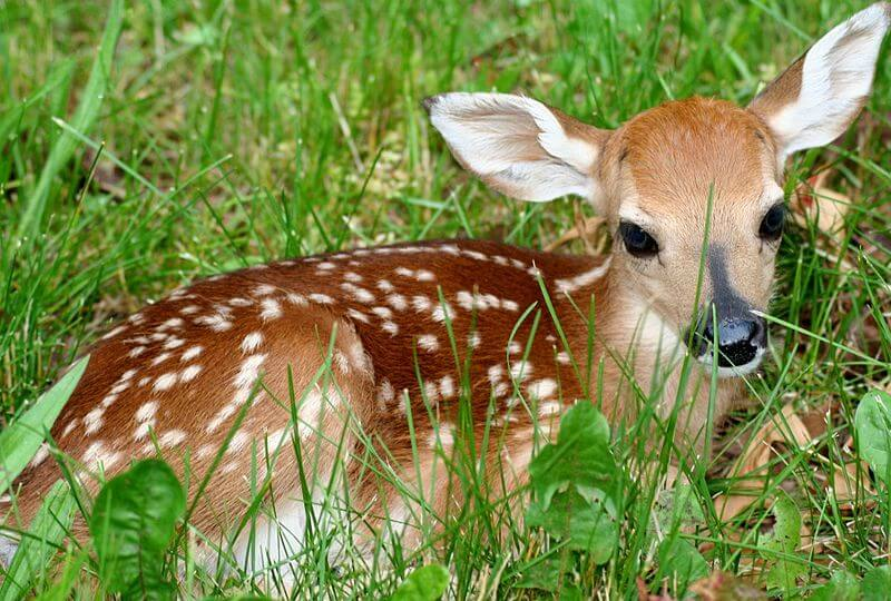 800px-Fawn-in-grass