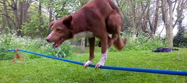 これはスゴい!ロープの上で超アクロバットな技を披露するワンコ