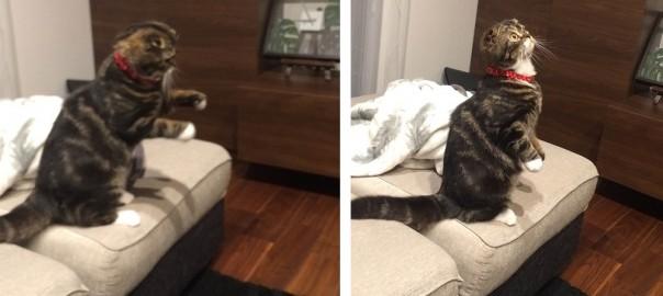 【今日のにゃんこ】仕草が人間みたいでかわいいネコ「颯太くん」