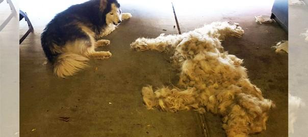 ワンコも嬉しそう!(笑) 犬の毛を刈ったらもう1匹犬ができた・・・(画像9枚)