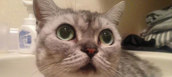 【今日のにゃんこ】まん丸おめめで見つめるカワイコちゃん「カノンちゃん」