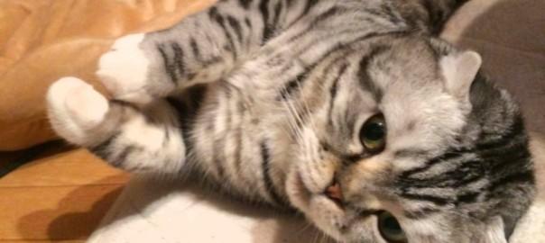 【今日のにゃんこ】だらだらするのが大好きなのんびり猫「しらたまちゃん」