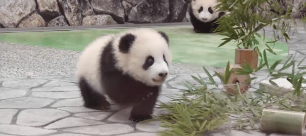 可愛いにも程がある!大好きな飼育員さんを追っかけ回す双子パンダ