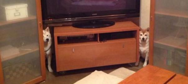「一家に1台欲しい!」魔除けしてくれそうな柴犬付きテレビが話題に