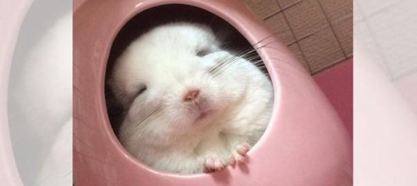 「お、起きてますよ・・・zzz」ツボの中でウトウトするチンチラが可愛すぎて萌える(画像4枚)