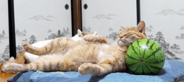 夏はこれに限る!スイカを枕にして寝るニャンコに癒される