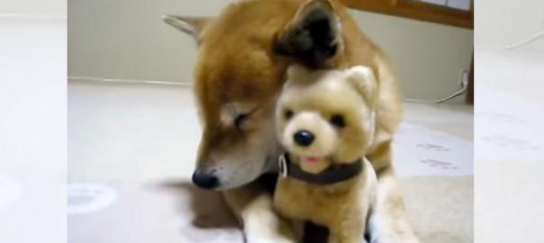 きっかけはマッサージ?柴犬がおもちゃの柴犬と仲良くなった瞬間