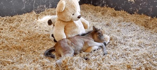 「新しい家族ができました」母親に見捨てられたポニーを支えたのはクマのぬいぐるみ