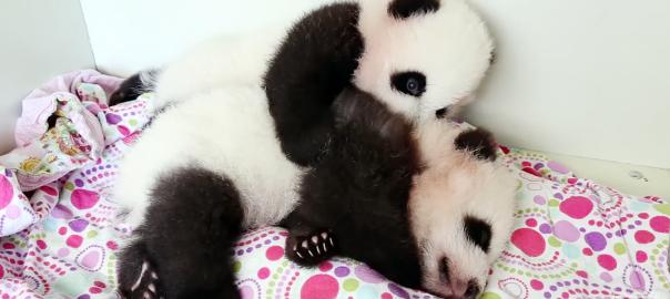 ふわふわもふもふ!寝てたい赤ちゃんパンダともっと遊びたい赤ちゃんパンダ
