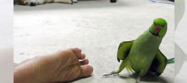 「足くっさー」ご主人の足を嗅いでのけぞるインコのリアクションが面白すぎ