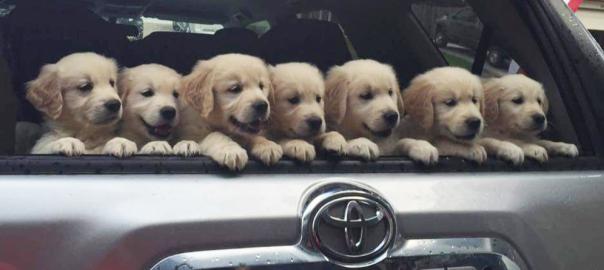 ゴールデン好き、全員集合!子犬のゴールデンがかわいすぎて悶絶が止まらない(画像14枚)