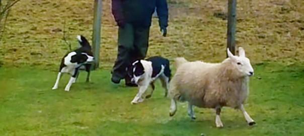 1790049_sheep