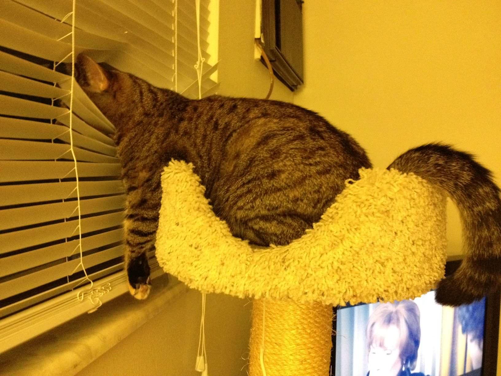 ブラインドで寝る猫