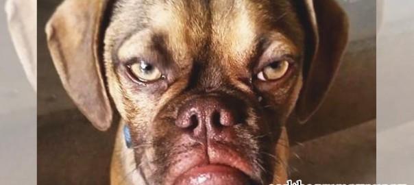 【ホントは甘えん坊】子犬とは思えないほどコワモテの犬が話題に