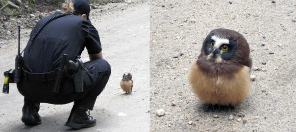 可愛すぎる不審者!保安官に職務質問されたのは赤ちゃんフクロウ