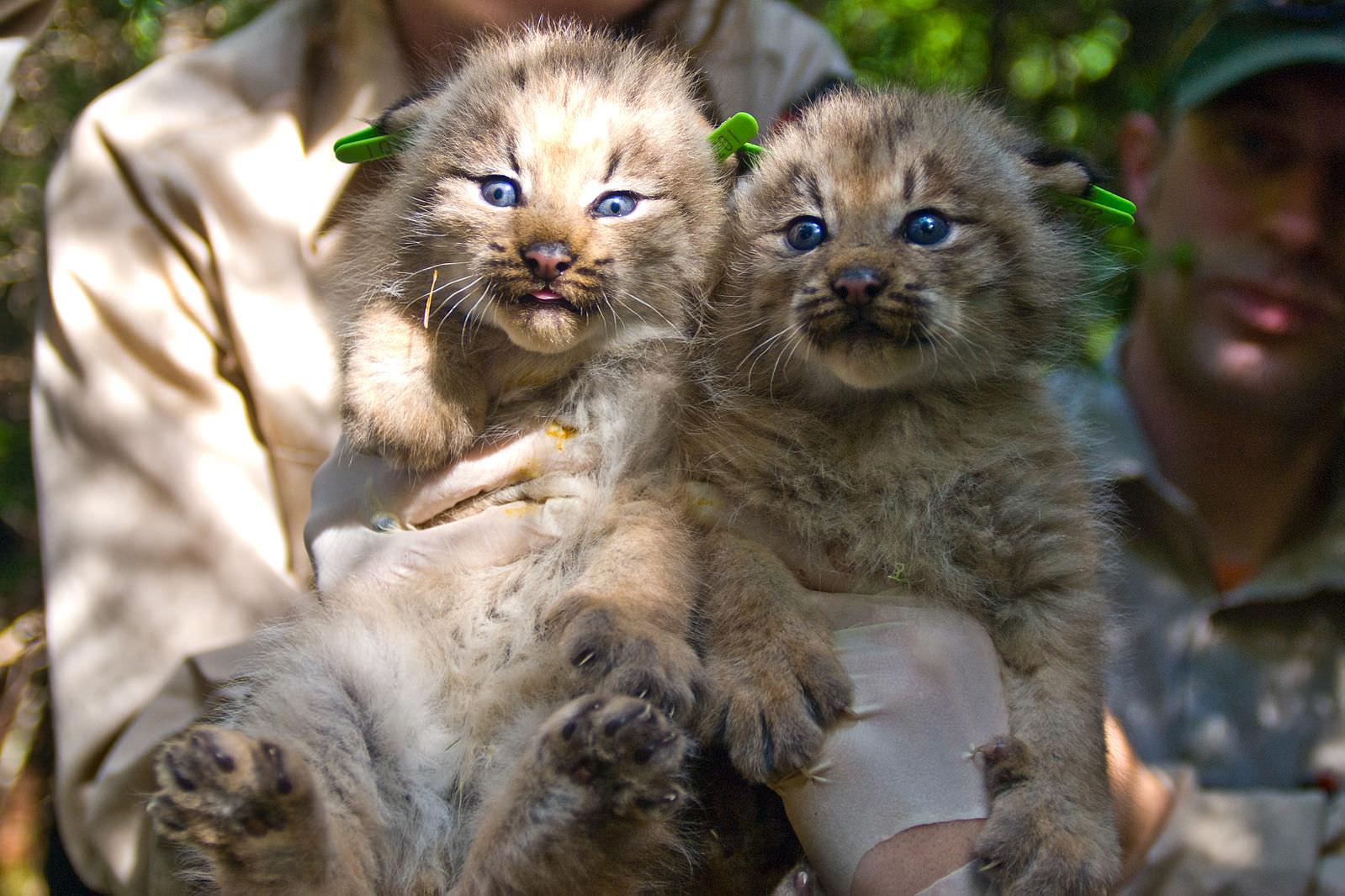Two_Canada_Lynx_Kittens
