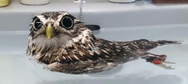 ぷか~ん♡ お水に浮いてるフクロウが激カワで癒される