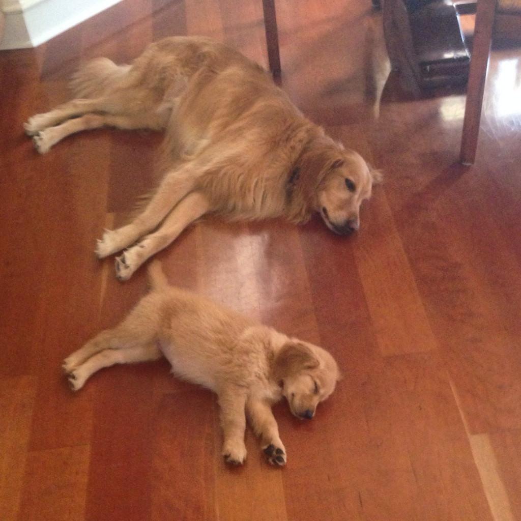 親と寝る子犬