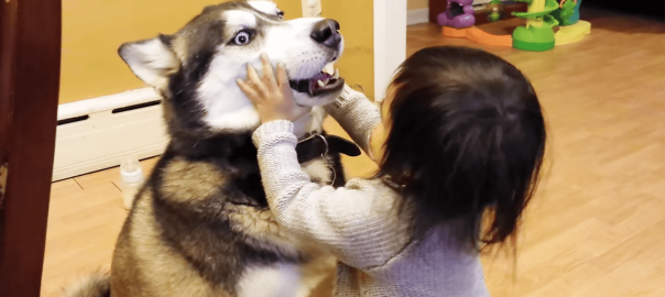 コワモテでも心は優しい!ヤンチャな女の子を受け入れるハスキー犬