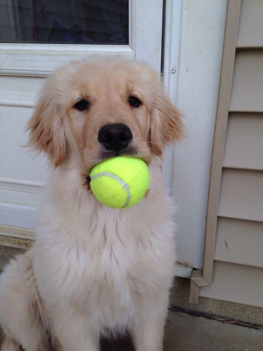 ボールを加える子犬