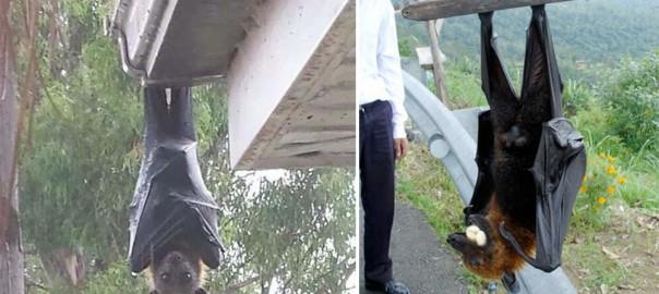 【ちょっと閲覧注意】世界最大の「オオコウモリ」がリアル吸血鬼すぎて腰を抜かす