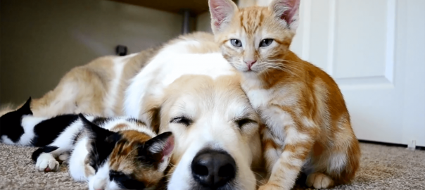 寝ているワンコ相手に自由奔放に振る舞う子猫。でも可愛いから許す!