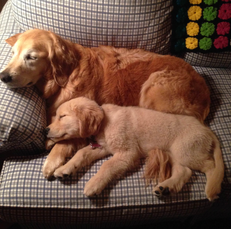 親犬と寝る子犬
