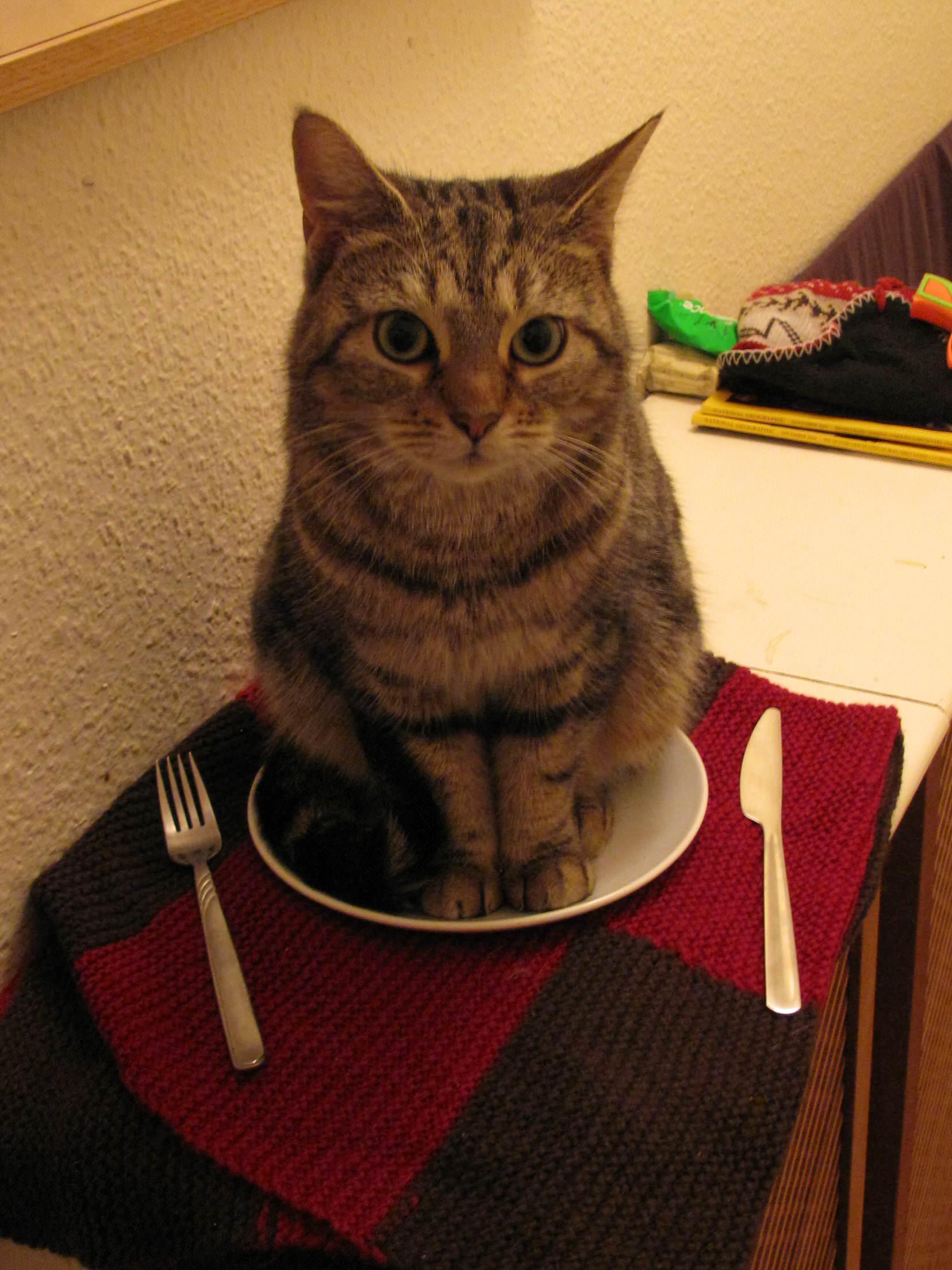 皿に座る猫