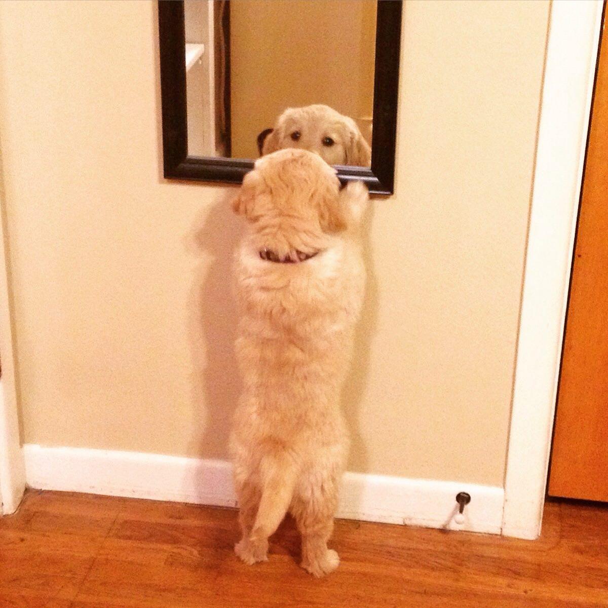 鏡を見るゴールデン