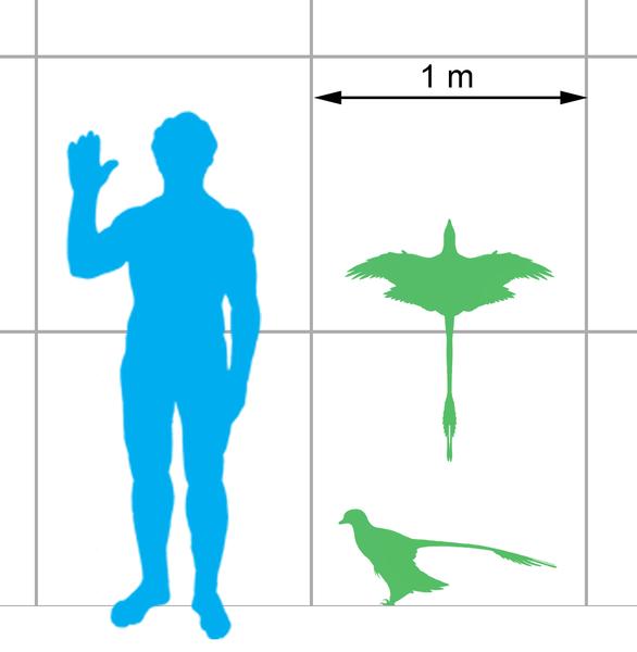 ミクロラプトルの大きさ