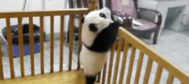 【激萌え♡】パンダの赤ちゃん「絶対脱走してやる」→毎回失敗
