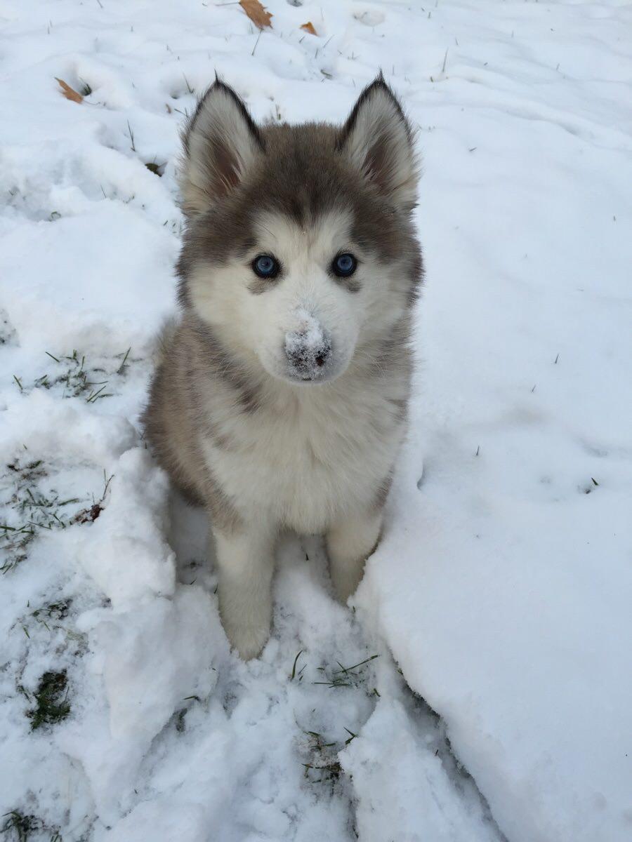 雪の中で遊ぶ子犬のハスキー