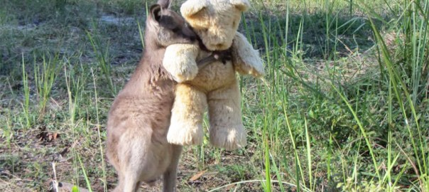 テディベアを抱きしめて離さない赤ちゃんカンガルー。一体なぜ?
