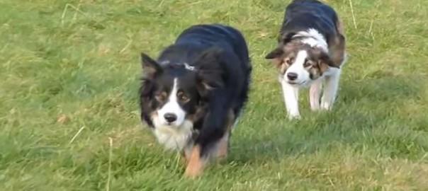 犬が犬に忍び寄る不思議な遊び。これはボーダーコリーの「だるまさんがころんだ」?