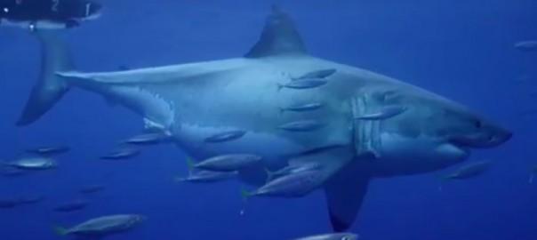 リアルジョーズ!体長6mの巨大ホホジロザメに度肝を抜かれる