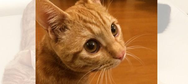 【今日のにゃんこ】人が大好き!やさしい目をした猫「BBくん」