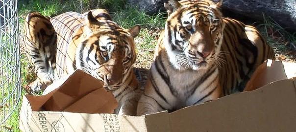 大きくてもニャンコはニャンコ!ネコ科の大型動物に箱を見せたらこうなった