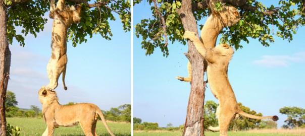 「ちょちょちょ!落ちるよ〜」木登りをする野生のライオンが完全にコント(画像6枚)
