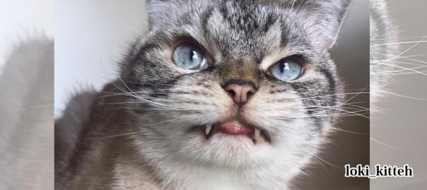 その牙で噛んでほしい!吸血鬼のようなコワモテ猫、その意外な一面にキュンとくる