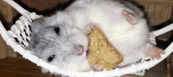 ぐうたらすぎる!ハンモックで横になってご飯を食べるハムスター
