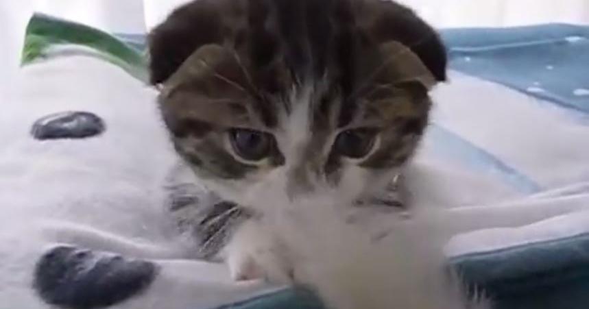 マンチカン 猫じゃらし1