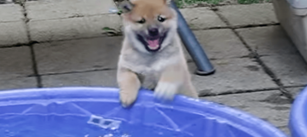 胸キュン♡ 初めてのプールに大はしゃぎのちっちゃな柴犬