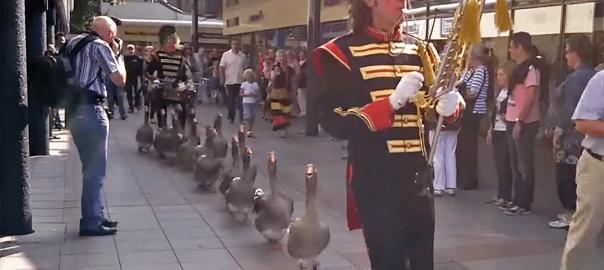 お尻フリフリ♪ ガチョウの音楽隊が一列に並んで街を練り歩く