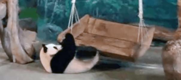 遊べてない(笑) 子パンダがブランコで遊びたいけど乗り方がハチャメチャ