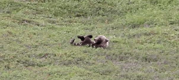 可愛すぎる一人遊び!見られていると知らずにコロコロ転がって遊ぶクマ