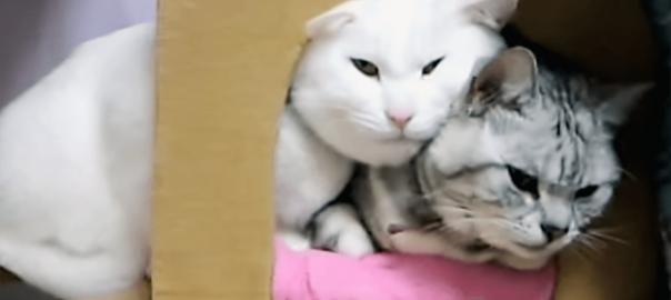 「狭いニャ」小さなベッドで一緒に寝たい白猫が顔押し付けてくる