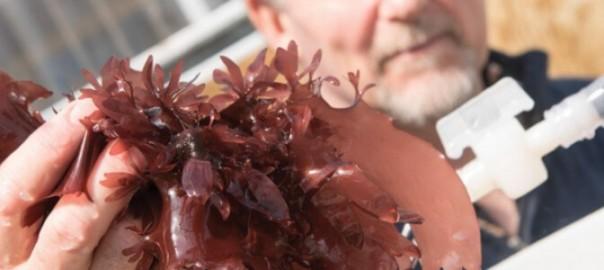 【最高のダイエット食品】ベーコンの味がする海藻が発見された