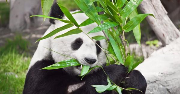 【雑学】パンダは竹を掴むために、5本指を7本指に増やした