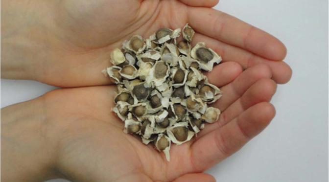 moringa_seeds thumb
